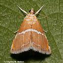 Moth - Abegesta reluctalis