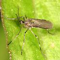 Gall Midge - Asphondylia - female
