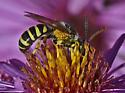 Bee 7681 & 7666 - Agapostemon