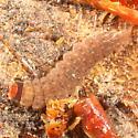Cantharid larva?