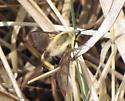 Wasp? - Hemaris diffinis