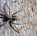 What kind of spider? - Thanatus