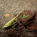 Praying Mantis Stagmomantis Carolina - Stagmomantis carolina - female