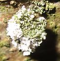 Debris-carrying larva - Leucochrysa pavida
