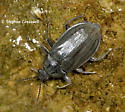 Beetles Impressive in Whitewater - Psephenus herricki