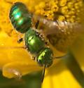 Green bee on Helenium (Augochlorella?) - Agapostemon texanus