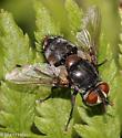 Tachinidae - Winthemia