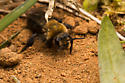 Andrena? - Andrena - female