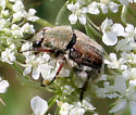 Beetle ID Request - Trichiotinus piger