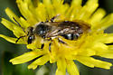 Bee in dandelion 3092 - Andrena