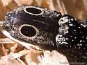 Alaus oculatus - male