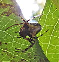 Yellow spider - Verrucosa arenata