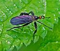 FlyDanceRhamphomyia05312017_GH_ - Rhamphomyia longicauda - female