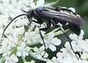 black and white wasp - Episyron quinquenotatus