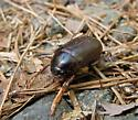 Scarab Beetle -- Diplotaxis? - Phyllophaga