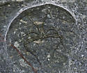 Lampshade weaver - Hypochilus pococki