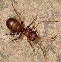 Ant-Mimic Wasp? - Gelis