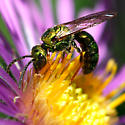 Halictid Bee - Augochlora pura - male