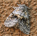 Black Spotted Gray Moth with Yellow Diamond Band - Gluphisia wrightii