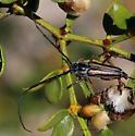 Long horned beetle - Perarthrus