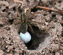 Which spider, please? - Tigrosa helluo - female