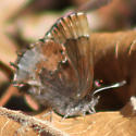 Elfin - Callophrys henrici