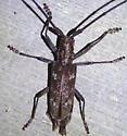 Purplish longhorn - Monochamus