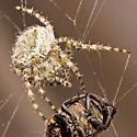 Orb Weaver Spider with Beetle - Araneus cavaticus