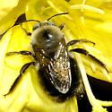 Apidae--Xylocopa tabaniformis orpifex? - Xylocopa tabaniformis - male