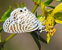 Butterfly - Leptotes marina