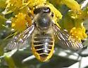 Western Leafcutter - Megachile perihirta