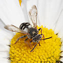 Triepeolus species? - Epeolus