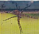 Spider in Wentworth NH - Dolomedes
