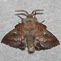Lappet Moth - Hodges#7687  - Phyllodesma americana