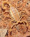 Centruroides sculpturatus? - Chihuahuanus coahuilae