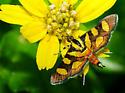 Tiny butterfly - Syngamia florella
