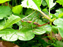 Short-winged Meadow Katydid? - Conocephalus brevipennis - female