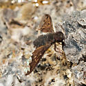 Little Brown Fly - Hemipenthes sinuosa