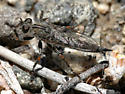 Robber Fly - Machimus occidentalis - female