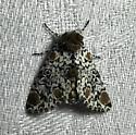 Harrisimemna trisignata (Harris's Three Spot) 9286 - Harrisimemna trisignata