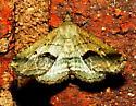 Moth 070717bar - Ledaea perditalis