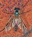Fly - Rhagio - male