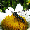 Clearwing Moth - Synanthedon pictipes