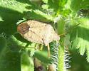 stink bug - Euschistus quadrator