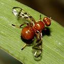 Large Fruit Fly - Rivellia munda