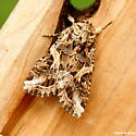 Yellow-striped armyworm moth - Spodoptera ornithogalli