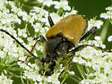 long horned beetle - Trigonarthris proxima