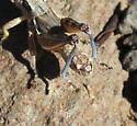 short-wing melanoplus - Melanoplus lakinus - male