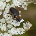 Unidentified beetle - Diabrotica cristata