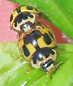Fourteen-spotted Lady Beetle - Propylea quatuordecimpunctata - male - female